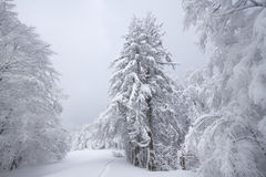 Snowy fields, trees and firs, winter in the Vosges, France. Royalty Free Stock Photos