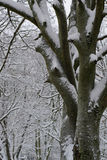 Snowy, figure the trunk of the tree against the snowy branches. Monochrome winter illustration winter snowy trees Royalty Free Stock Image