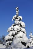 Snowy fir Stock Photography
