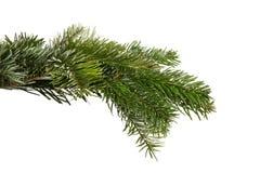 Snowy fir branch Stock Photo