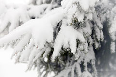 Snowy fir branches. Royalty Free Stock Photography