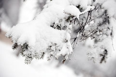 Snowy fir branches. Royalty Free Stock Image
