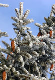 Snowy fir cone. Tree in frost on winter stock images