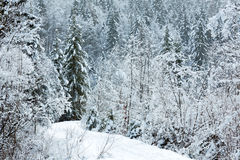 Snowy fir forest. Stock Image