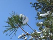 Snowy fir-tree branch. On blue sky Stock Photos