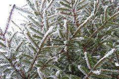 Snowy fir tree branch in winter, Lithuania Royalty Free Stock Images