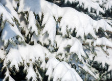 Snowy fir tree branches as background Stock Images
