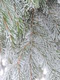Snowy fir tree branches, Lithuania Stock Photos