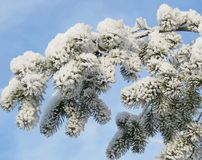 Snowy fir tree branches, Lithuania Royalty Free Stock Photography
