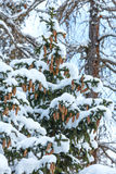Snowy fir tree with cones. Royalty Free Stock Image