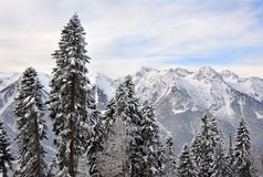Free Snowy Fir Tree Forest Stock Photography - 25631342