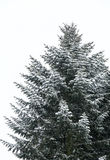 Snowy fir tree Stock Images