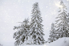 Snowy fir tree Royalty Free Stock Image