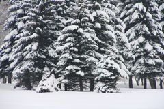 Snowy fir trees Stock Photography