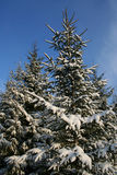 Snowy fir-trees. In winter Royalty Free Stock Image