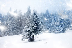 Snowy fir trees Stock Image