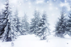Snowy fir trees Stock Photos