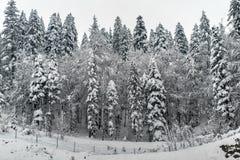 Snowy fir trees Stock Photos