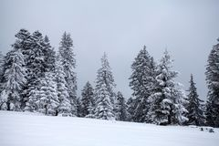 Snowy fir trees stock images