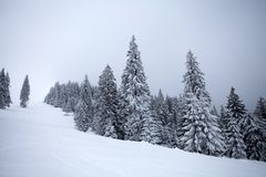 Snowy fir trees royalty free stock images