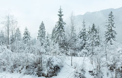 Snowy fir trees. Royalty Free Stock Photo