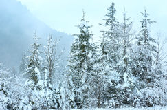 Snowy fir trees. Stock Photos