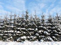 Snowy fir  trees, Lithuania Royalty Free Stock Photos