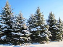 Snowy fir trees, Lithuania Stock Photos