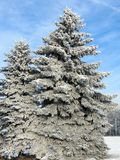 Snowy fir trees, Lithuania Royalty Free Stock Photography