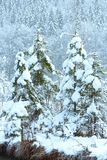 Snowy fir trees in mountain. Stock Images