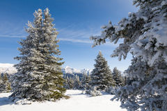 Snowy Fir Trees and Mountains Royalty Free Stock Image