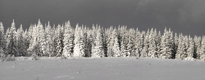 Snowy fir trees. A row of beautiful fir trees and spruces under a thick coat of snow in the Carpathians Royalty Free Stock Photography