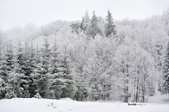 Snowy fir-trees in winter Royalty Free Stock Photos