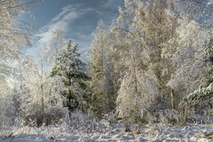 Snowy fir trees in winter forest at snowfall/snow covered forest royalty free stock photography