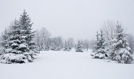 Free Snowy Firs Stock Images - 13149304