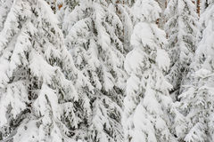 Snowy firs Stock Photos