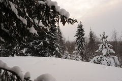 Snowy firs Stock Image