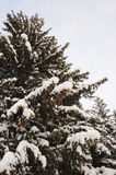 Snowy firs Royalty Free Stock Images