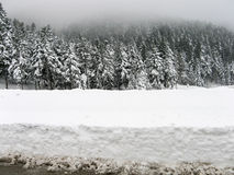 Snowy firs in winter. Stock Images