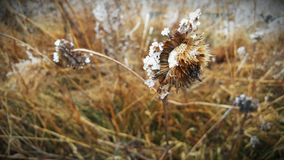 Snowy Flower. A  flower in the snow. Taken East of Council Bluffs Iowa Royalty Free Stock Photo