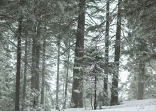 Snowy foggy forest in the mountains Royalty Free Stock Photos