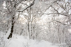 Snowy footpath in beautiful winter forest, sunny day Stock Images