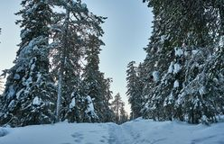 Snowy footpath in forest in mountains. Winter mountain scene. Lots of snow and cold winter day. Snowy trees stock images