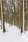 Snowy footpath trail in forest many tree trunks winter. Snowy natural footpath trail in forest many tree trunks winter Stock Image
