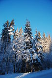 Snowy forest. Beautiful snowy forest in winter royalty free stock images