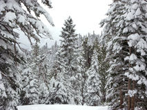 Snowy Forest 2. Forest in Winter, Sierra Nevada, Ca, USA stock photography