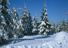 Snowy forest. And wooded landscape Royalty Free Stock Photos