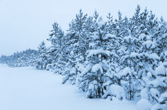 Snowy forest. Stock Images