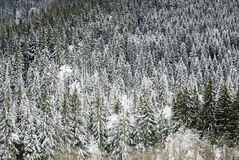 Snowy forest. Picture from above Stock Images