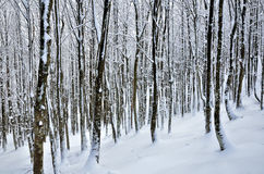 Snowy forest Royalty Free Stock Photo